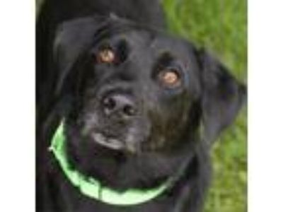 Adopt Clyde a Black Shepherd (Unknown Type) dog in Middletown, RI (25832620)
