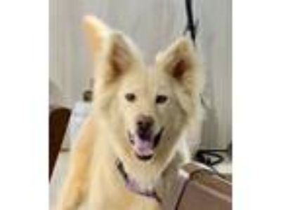 Adopt TESS a Border Collie, Golden Retriever