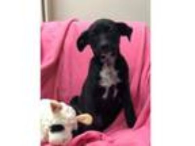 Adopt TULIP a Border Collie, Terrier
