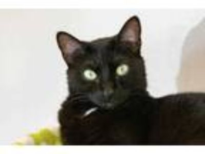 Adopt Nayla a All Black Domestic Shorthair / Domestic Shorthair / Mixed cat in