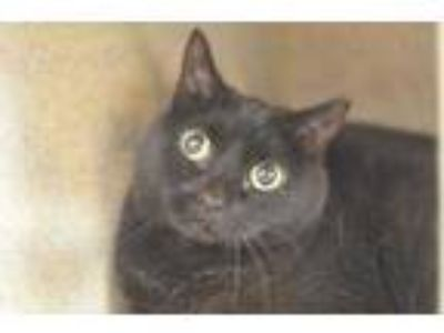 Adopt Jinxie a All Black Domestic Shorthair / Domestic Shorthair / Mixed cat in