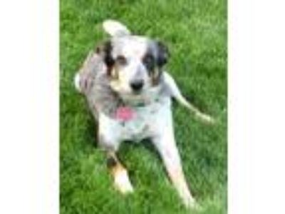 Adopt Ashes a Australian Shepherd, Australian Cattle Dog / Blue Heeler
