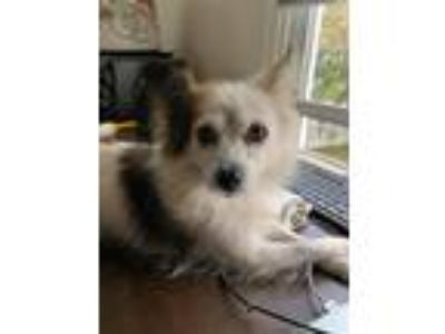Adopt Lily a White - with Brown or Chocolate Papillon / Terrier (Unknown Type