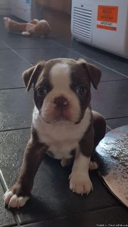 3 Health tested Blue and white male Boston Terrier puppy Available