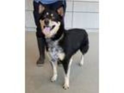 Adopt Toffee a Shepherd, Cattle Dog