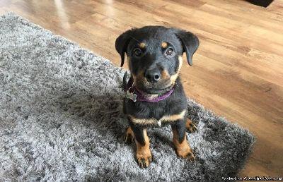 lovely pedigree Rottweiler pup
