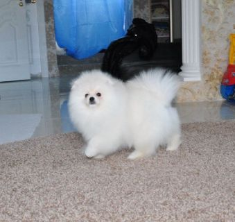 11 weeks Teacup pomeneranian