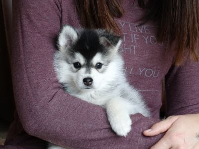 Pomsky PUPPY FOR SALE ADN-65723 - Pomsky Puppies Available Now