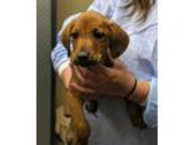 Adopt Dallas a Tan/Yellow/Fawn Hound (Unknown Type) / Mixed dog in Quincy
