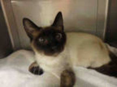 Adopt CALLISTO a Brown or Chocolate (Mostly) Siamese / Mixed (short coat) cat in