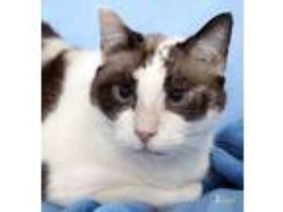Adopt Lotus a Domestic Short Hair, Siamese