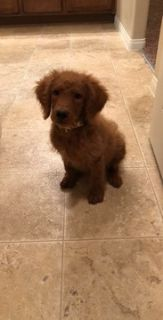 Goldendoodle-Golden Retriever Mix PUPPY FOR SALE ADN-78394 - GOLDENDOODLE PUPPY