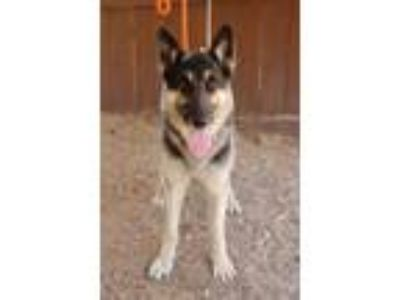 Adopt Gannon a German Shepherd Dog