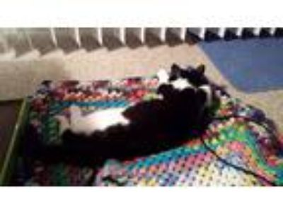 Adopt Romo a Black & White or Tuxedo American Shorthair / Mixed cat in Wheeling