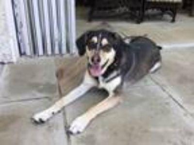 Adopt Banjo a Black - with Tan, Yellow or Fawn Australian Shepherd / Mixed dog
