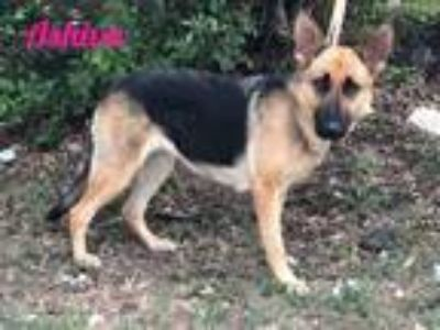 Adopt Ashiva a German Shepherd Dog