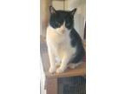 Adopt SylvesterKitty (friendly tuxedo boy, age 6) a American Shorthair