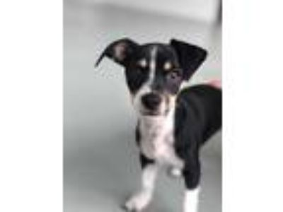 Adopt Cherio a Black - with White Jack Russell Terrier / Dachshund / Mixed dog