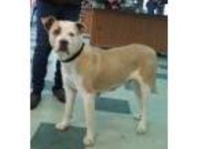 Adopt Maeby a Boxer, Pit Bull Terrier