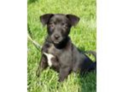 Adopt Onyx a Labrador Retriever, Border Collie
