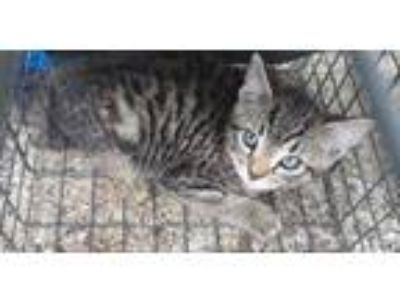 Adopt CHEVY a Gray or Blue Domestic Shorthair / Domestic Shorthair / Mixed cat