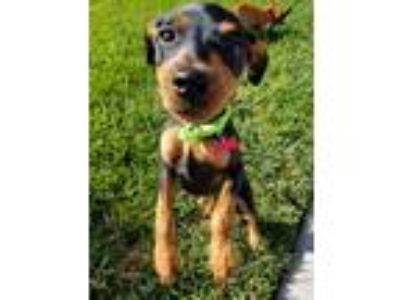 Adopt Buster a Black - with Tan, Yellow or Fawn Miniature Pinscher / Mixed dog