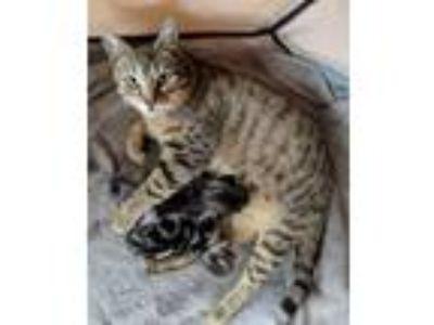 Adopt Aurora a Tan or Fawn Tabby Domestic Shorthair cat in Lewes, DE (25221763)