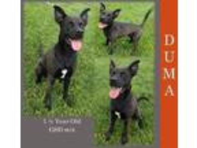 Adopt Duma a Black German Shepherd Dog / Mixed dog in Kirkland, IL (25795589)