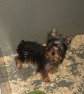 Yorkshire Terrier PUPPY FOR SALE ADN-55300 - Male Yorkshire Terrier