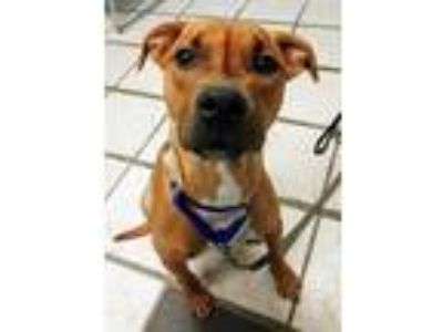 Adopt Puma a Red/Golden/Orange/Chestnut Mixed Breed (Medium) / Mixed dog in Fort