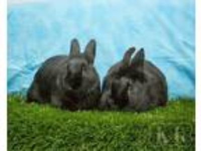 Adopt Kumme / Iri a Other/Unknown / Mixed (short coat) rabbit in Pflugerville