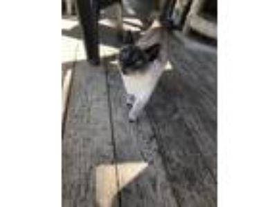 Adopt Lucy a Siamese / Mixed cat in FREEPORT, FL (24847146)