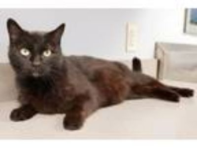 Adopt Bonny a All Black Domestic Mediumhair (medium coat) cat in Huntley