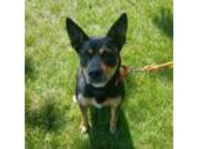 Adopt Mallory a Black Rottweiler / Mixed dog in Racine, WI (25862255)