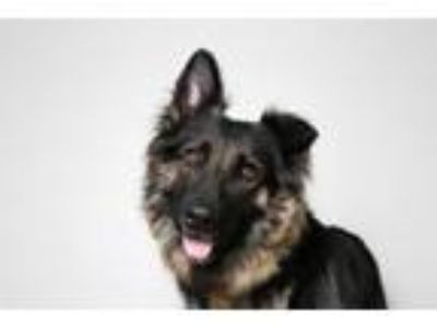 Adopt ++Moira D191028 a German Shepherd Dog
