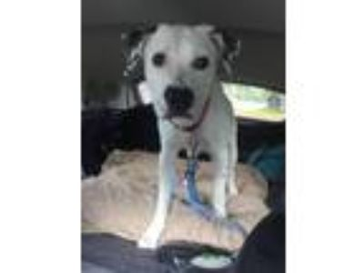Adopt Pongo a White - with Black Dalmatian / Labrador Retriever / Mixed dog in