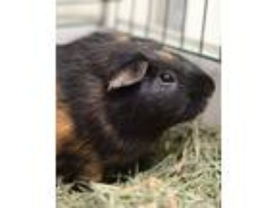 Adopt Ray a Guinea Pig small animal in Novato, CA (25193934)