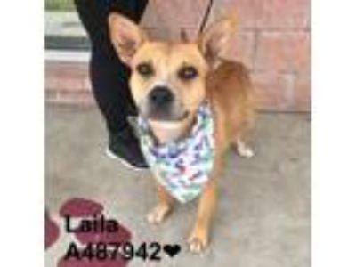 Adopt Laila a Brown/Chocolate American Staffordshire Terrier dog in San Antonio