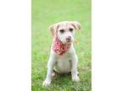 Adopt Landon a White - with Tan, Yellow or Fawn Border Collie / Terrier (Unknown