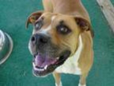 Adopt Raven a Tan/Yellow/Fawn Boxer / Mixed dog in Athens, AL (25546554)