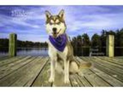 Adopt Dog a Red/Golden/Orange/Chestnut - with White Husky / Mixed dog in