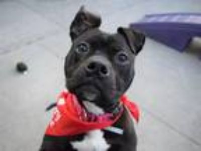 Adopt PABLO a Pit Bull Terrier