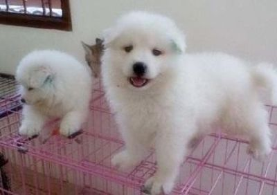 Registered Samoyed puppies for sale