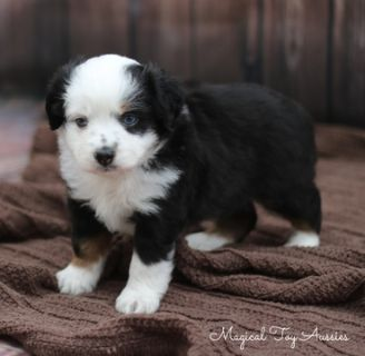 Miniature Australian Shepherd PUPPY FOR SALE ADN-96370 - Toy Australian Shepherd Puppy