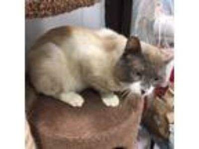 Adopt Forrest (Moorestown Petsmart) a Siamese, Domestic Short Hair
