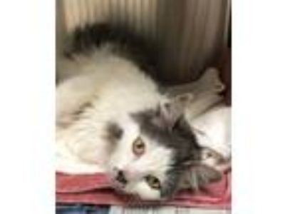 Adopt Posey a Domestic Mediumhair / Mixed (medium coat) cat in Novato