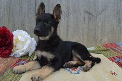 German Shepherd Dog PUPPY FOR SALE ADN-90951 - REBECCA