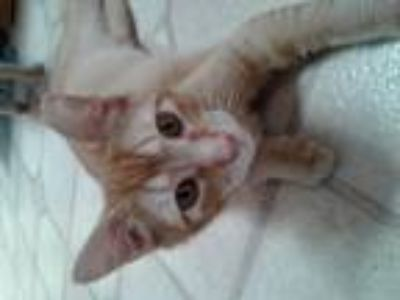 Adopt Leo (male kitten) a Orange or Red Domestic Shorthair / Mixed (short coat)