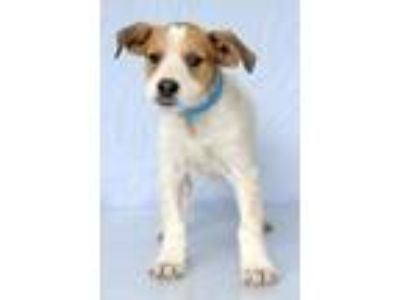 Adopt Colonel a White - with Tan, Yellow or Fawn Catahoula Leopard Dog / Mixed