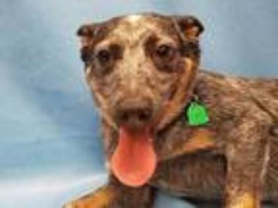 Adopt Bear a Black Australian Cattle Dog / Mixed dog in Coon Rapids